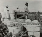 Photographs - - 1957 - - Bean pickers in Pompano.
