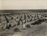 Photographs - - 1920s - - Flamingo Groves, Davie.