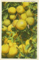 Postcards - - 1920s - - Grapefruit, Florida.