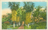 Postcards - - 1920s - - A shady walk through an avenue of palms, Florida.